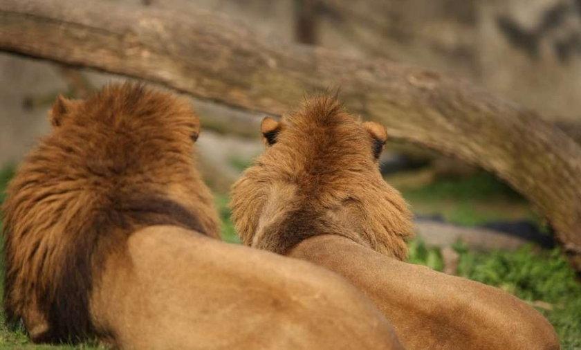 lew,zoo, warszawski ogród zoologiczny