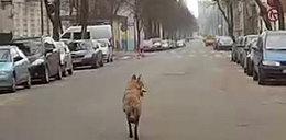 Sensacja! Wilk na ulicach Łodzi
