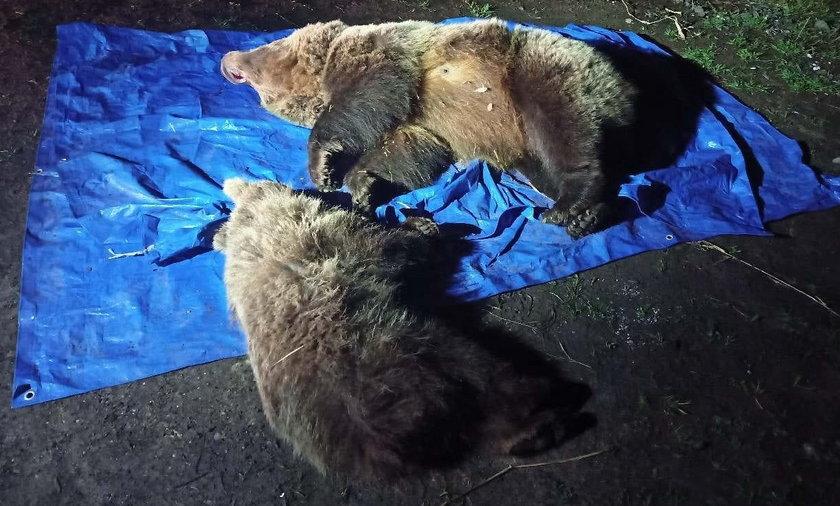 W Tatrach zastrzelono dwa niedźwiedzie. Internauci oburzeni.