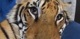 Hit netu! Tak wygląda pobudka tygrysa!