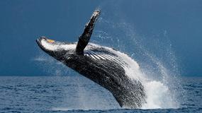 40-tonowy wieloryb wyskoczył z wody niczym delfin