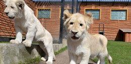 To już nie białe kociaki, a młode lwy