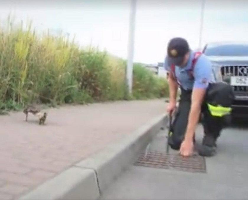Słowacja. Strażacy uratowali z kanału matkę z kaczuszkami