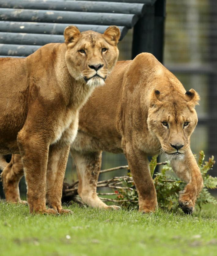 Ex-circus lions arrive at Five Sisters Zoo