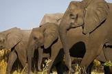 slonovi bez kljova