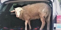 Zamknął przerażoną owcę w bagażniku. Chciał ją potem zjeść