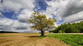 Najstarsze na świecie święto drzewa