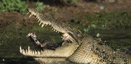 Makabryczna śmierć golfisty! Pożarł go żywcem krokodyl!