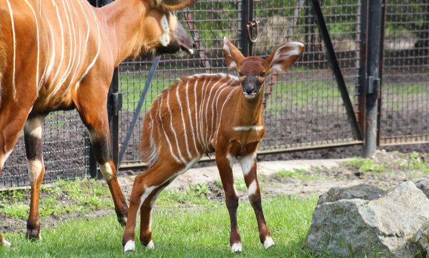 Antylopy bongo są gatunkiem zagrożonym wyginięciem