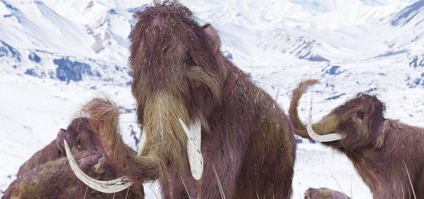 Za 6 lat po Ziemi będą chodzić mamuty stworzone w laboratorium?