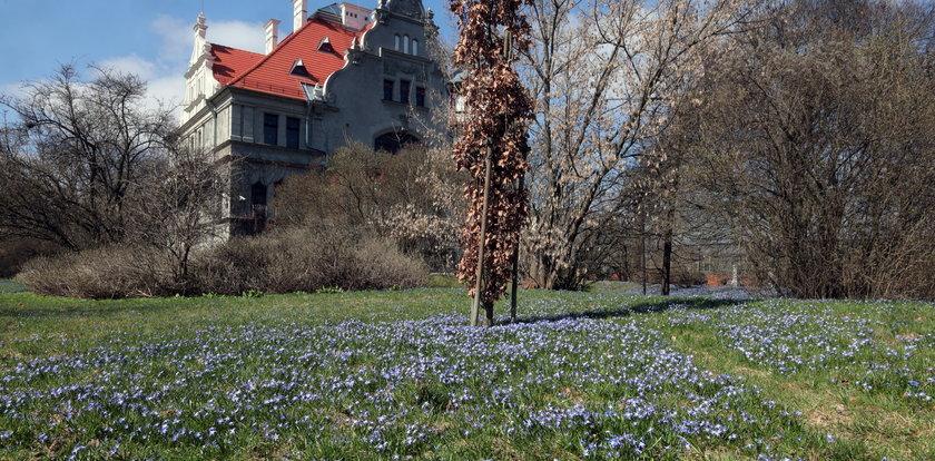 Wiosna w Łodzi. Cebulice w Parku Klepacza zakwitły dokładnie na Wielkanoc