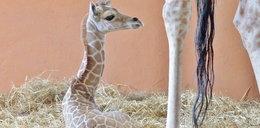Narodziny żyrafki w Chorzowie. Jest słodka!