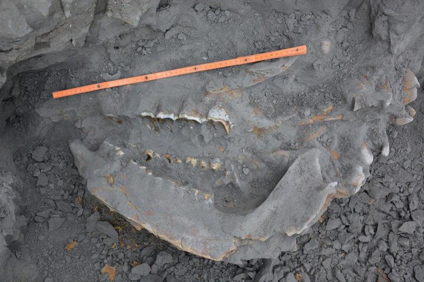 Kości prehistorycznego nosorożca