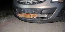 Co za zdjęcie! Jak ten lis to przeżył?