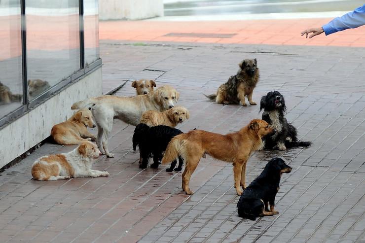 psi drugi tekst02 čopor lutalica foto M. Cvetković