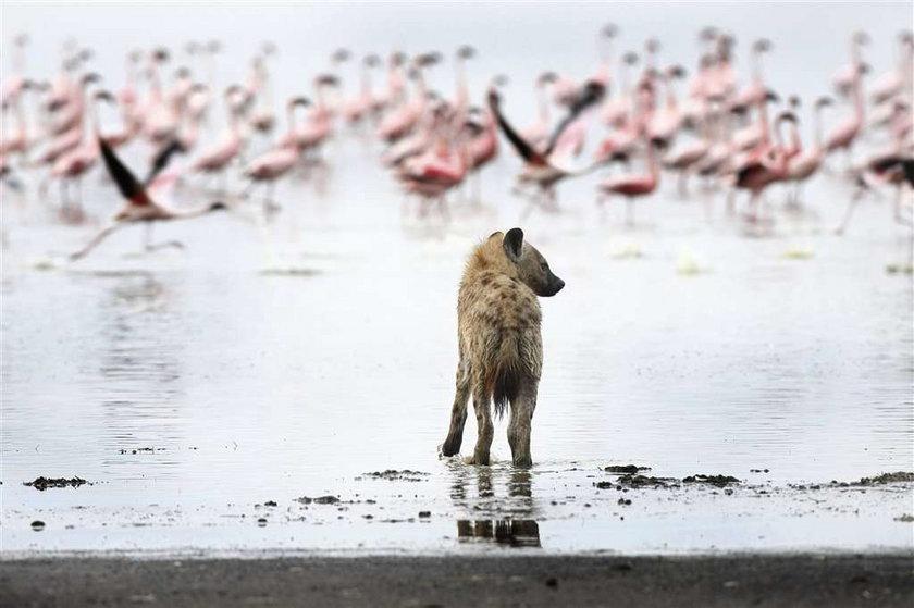 Hiena upolowała flaminga. Zdjęcia