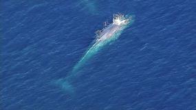 Ogromny płetwal błękitny utknął w rybackich sieciach