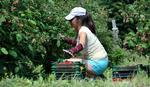 MLADI NEĆE DA BERU VOĆE Na organskim farmama traže radnike, ali moraju da ispune JEDAN USLOV