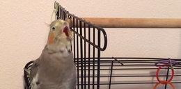 Papuga śpiewa największy hit Nelly'ego! FILM