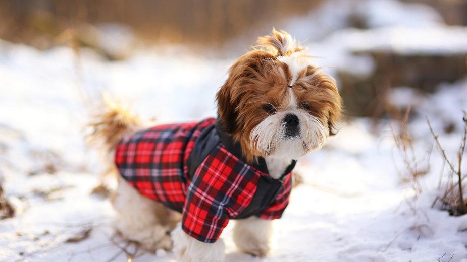 Jak zrobić ciepłe ubranko dla psa? - viclin/stock.adobe.com