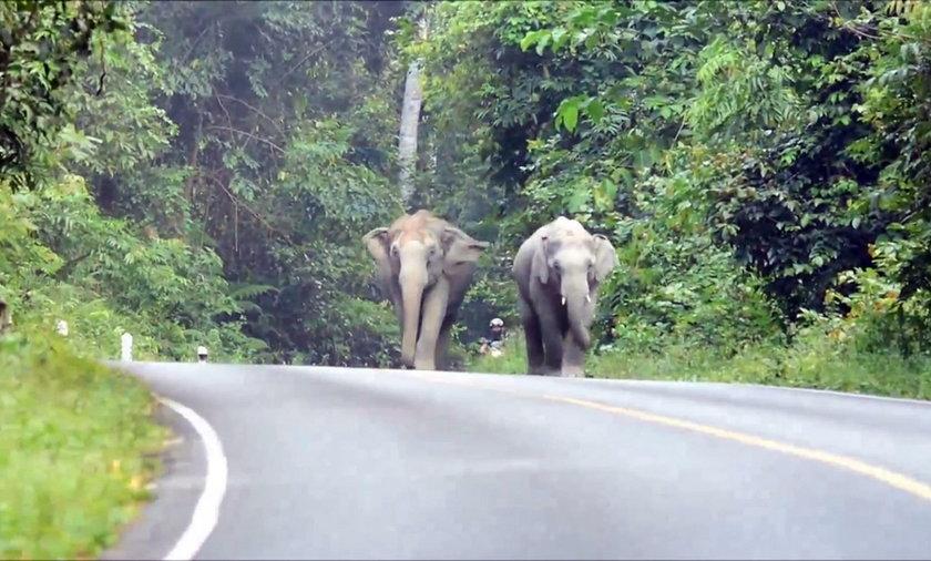 W parku narodowym w Tajlandii słonie spacerują przy drodze