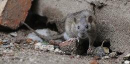 Atak szczura w domu opieki. Pogryziona 98-latka