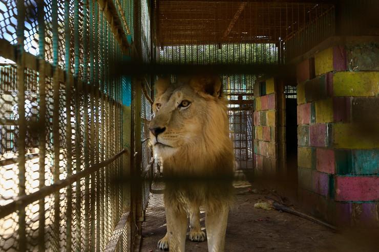 Kartum lavovi01