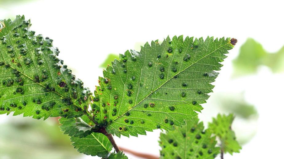 Szpeciele żerują na liściach drzew owocowych - 7monarda/stock.adobe.com