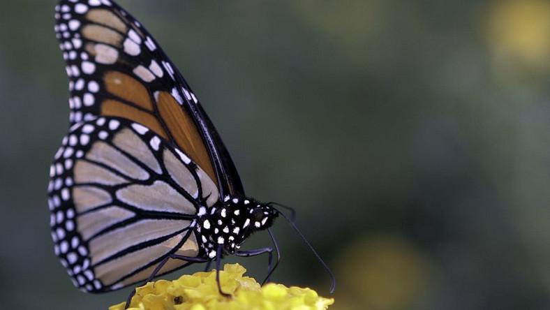 Motyle praktykują ziołolecznictwo
