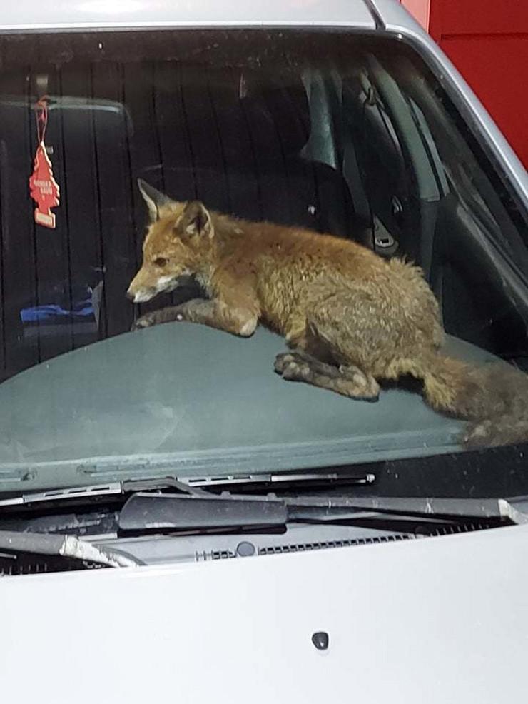 Lisica kroz otvoren prozor ušla u automobil