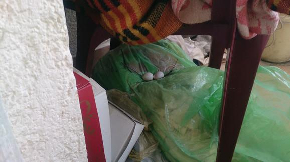 Golubica je prošle nedelje izlegla dva jaja ispod stolice na terasi