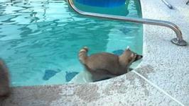 Urocze! Szop pilnuje swojego brata, który pływa w basenie