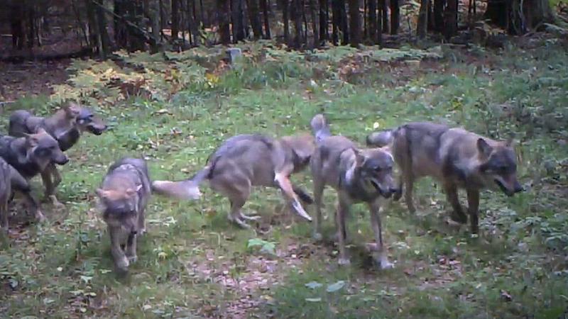 Puszcza Białowieska: duża wataha wilków przyłapana w ukrytej kamerze