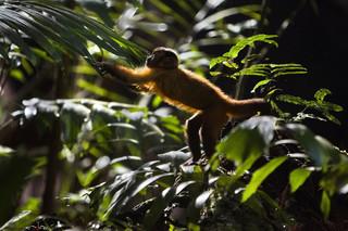 'Amazonia. Przygody małpki Sai': Małpie figle