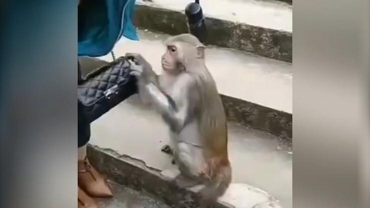 Majmun krade novčanik