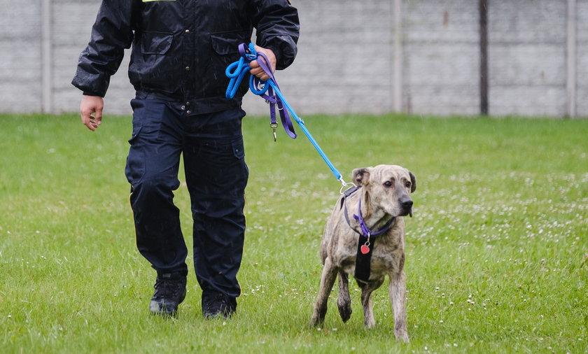 Strażnicy miejscy z Mysłowic mają psa. Herman to pies po przejściach. W strąty znalazł nowy dom.