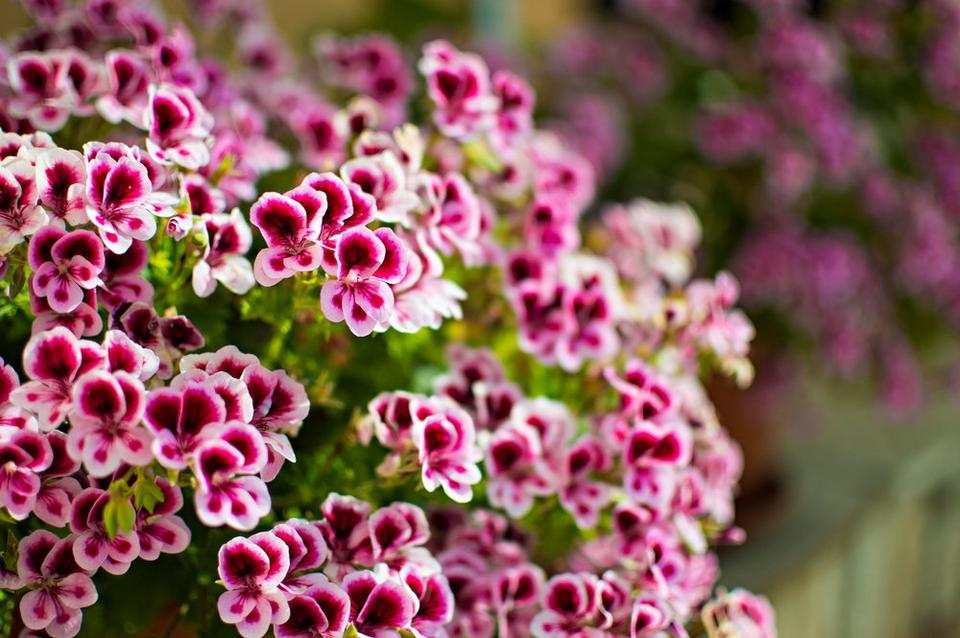 Kwiaty Na Taras Długo Kwitnące Na Balkony I Do Donic Dom
