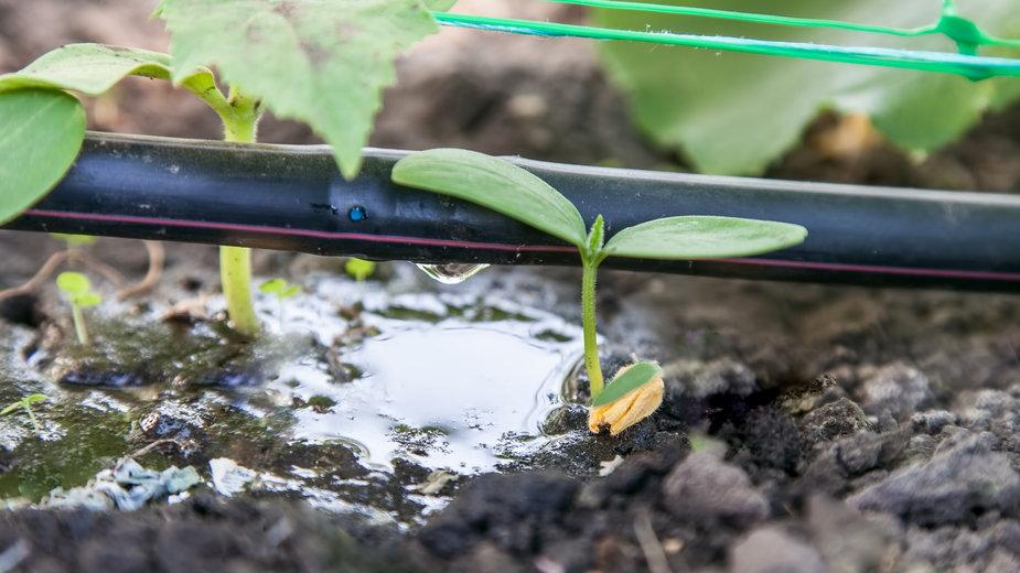 Nawadnianie kropelkowe doskonale sprawdza się do podlewania upraw - Photozi/stock.adobe.com