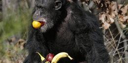 Szympans łakomczuch! Ale FOTO!