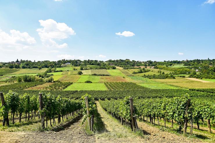 Novi Sad114 fruska gora vinogradi
