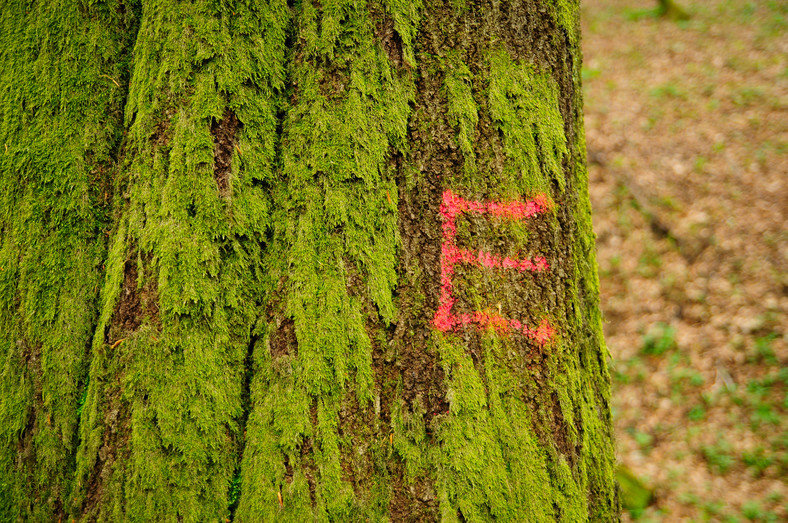 """Symbolem """"E"""" oznaczane są drzewa biocenotyczne - nie będą one wycinane, gdyż nie spełniająnorm produkcyjnych. Są jednak niezwykle istotne dla ekosystemu leśnego."""