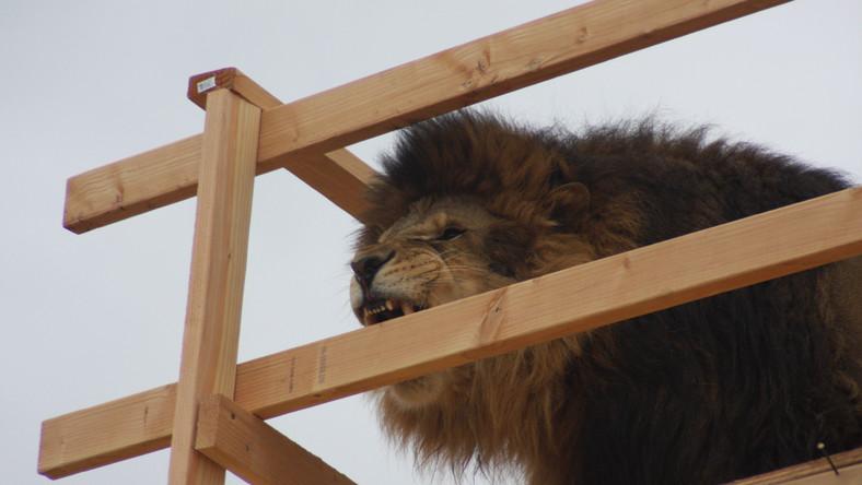 Klatka z lwem