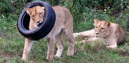 Tak baraszkują gdańskie lwy!