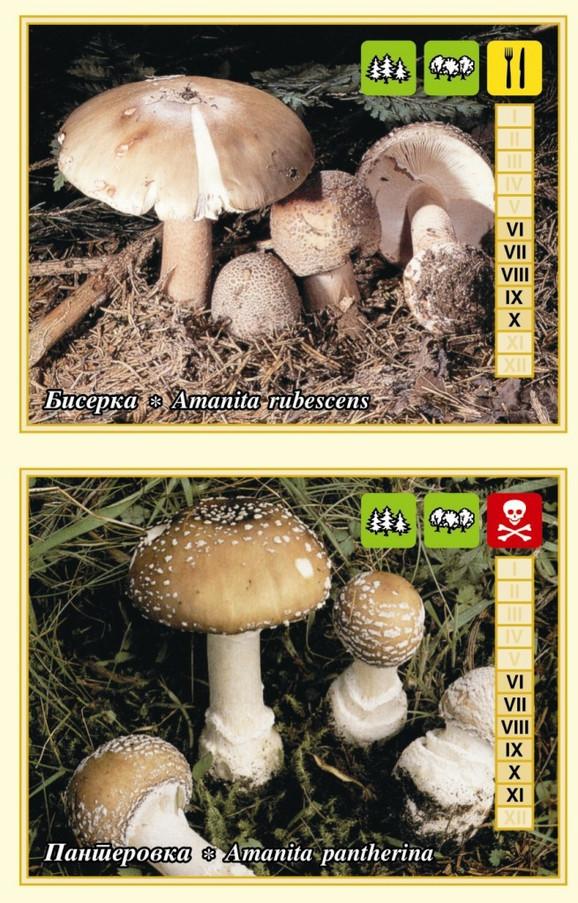 Gljive razlike između biserke i panterovke
