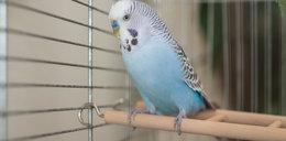 Papuga zawędrowała do Zgierza? Czeka na właściciela