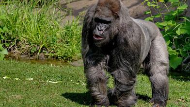 Zahynula najstaršia gorila v Európe. Zviera museli utratiť 2437b5cfe37