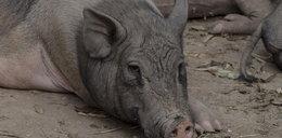 Świnie zjadły 4-latka. Policja znalazła nadgryzione zwłoki