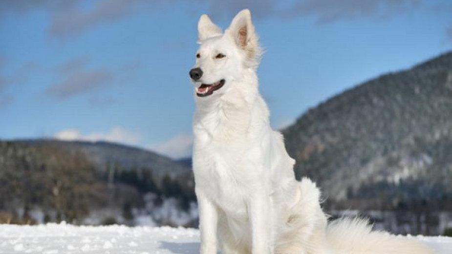 Owczarek szwajcarski - pies przypominający wilkora