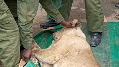 KWS capture lion that had escaped from Nairobi National Park