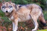 Vuk vukovi Wikipedia